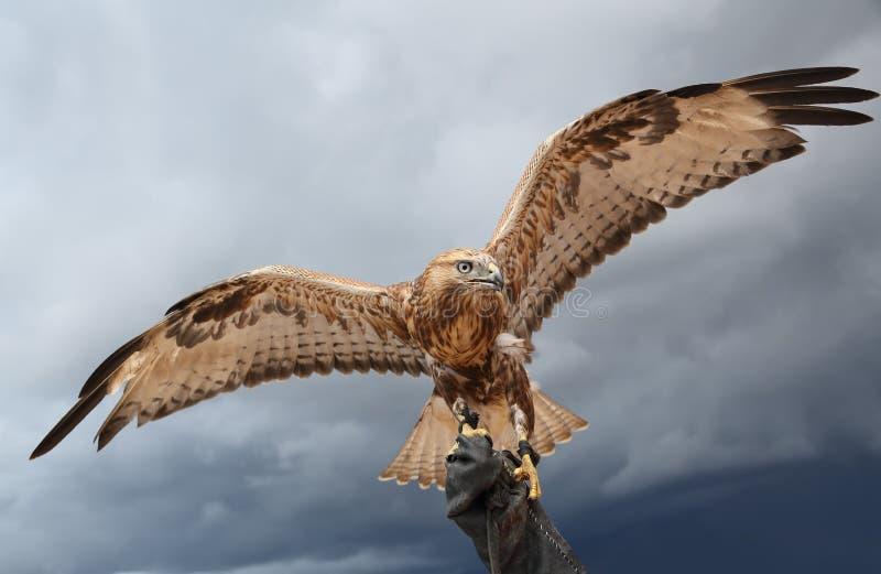 O falcão espalhou as asas. imagens de stock