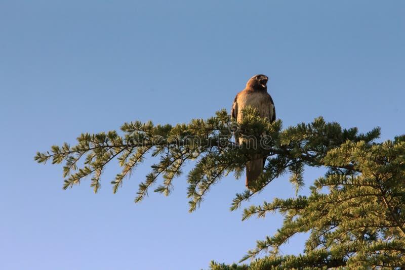 O falcão grita na copa de árvore imagem de stock