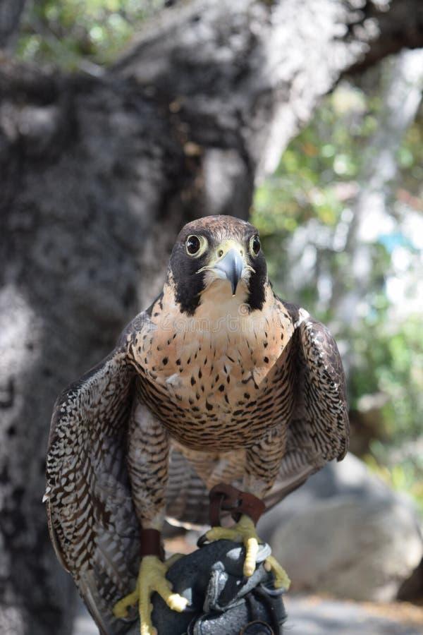 O falcão mantém seus olhos no prêmio fotografia de stock