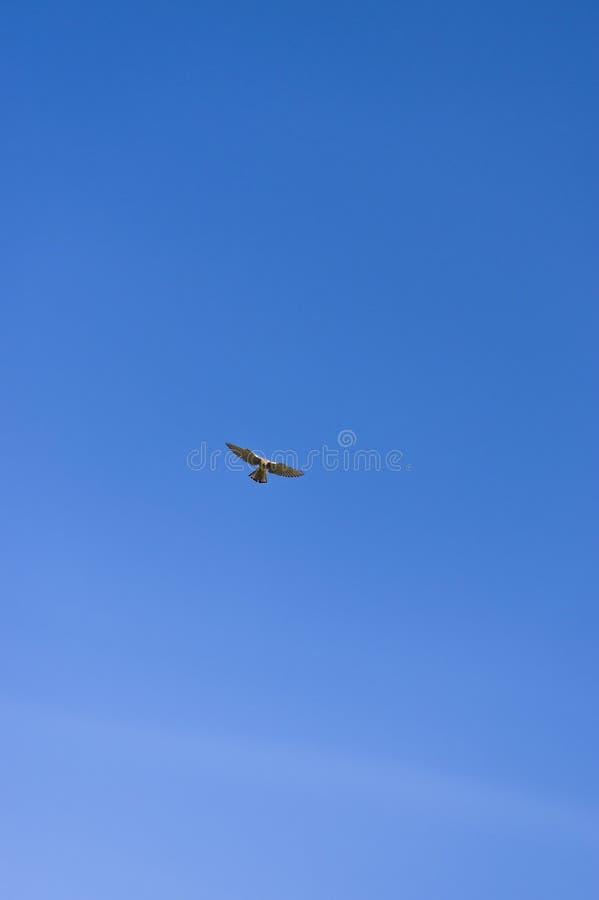 O falcão na caça da rapina no ttelflug do ¼ de RÃ e a tenda pairam sobre o vinhedo fotografia de stock royalty free