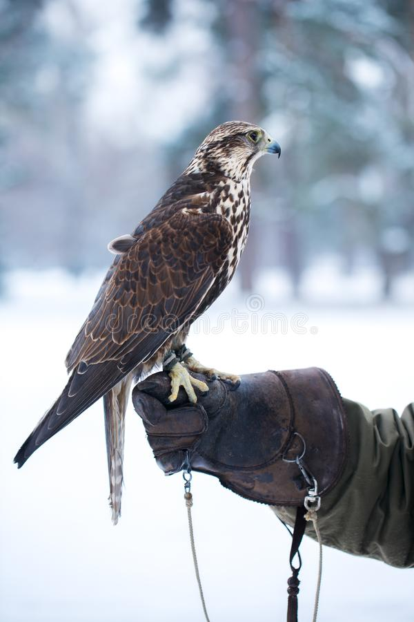 O falcão senta-se em uma mão imagens de stock royalty free