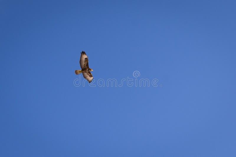 O falcão sobe lentamente no céu azul fotos de stock