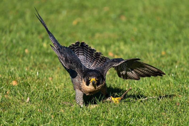 O falc?o de peregrino, peregrinus de Falco Os animais os mais r?pidos no mundo imagens de stock