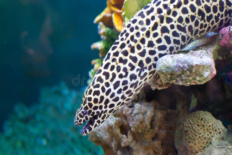O favagineus atado de Gymnothorax do moray, igualmente conhecido como o moray do leopardo fotografia de stock