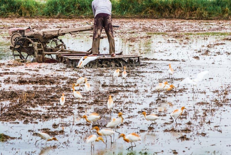 O fazendeiro é arado com um trator em sua exploração agrícola e nos pássaros AR imagem de stock royalty free