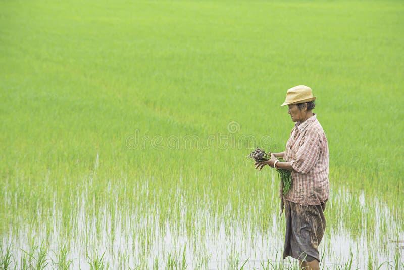 O fazendeiro é uma mulher veste um chapéu que mantém o arroz plantado no campo de almofada com os pantanais no parque de BangYai, fotos de stock