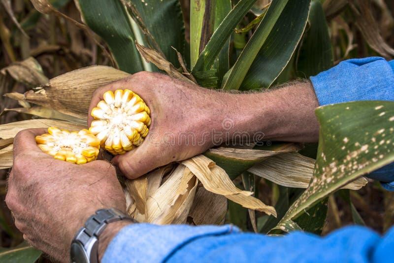 O fazendeiro analisa a espiga de milho foto de stock royalty free
