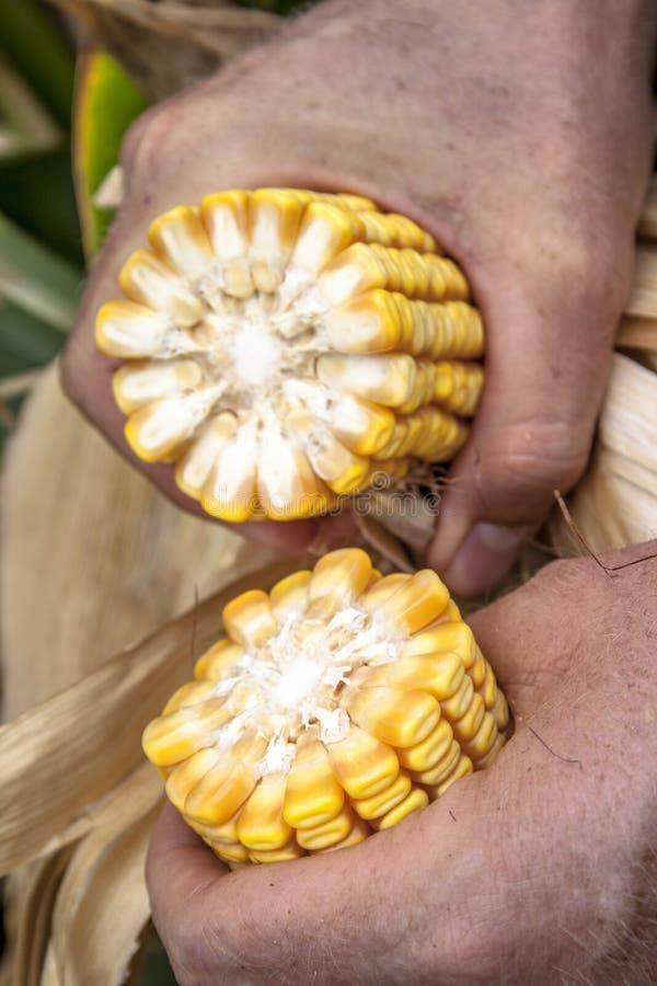 O fazendeiro analisa uma espiga de milho fotos de stock
