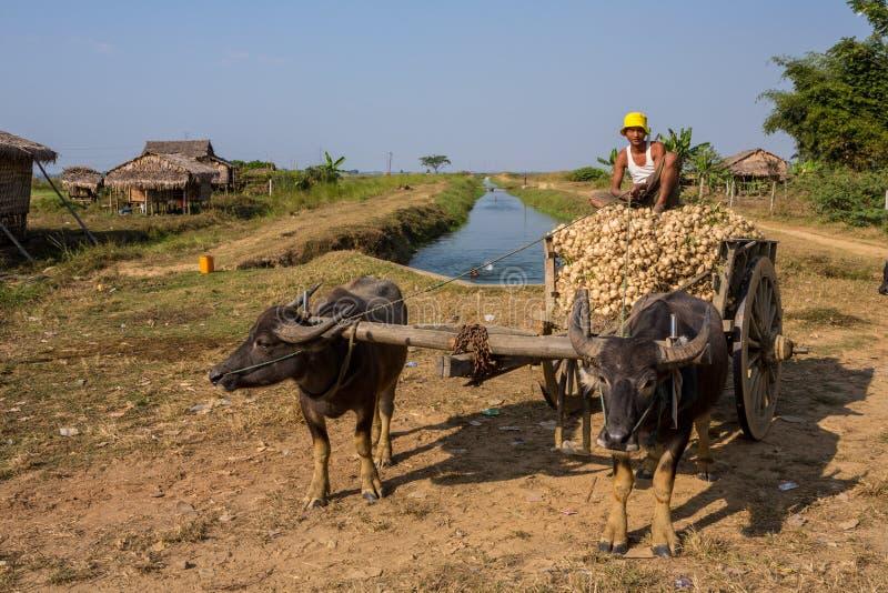 O fazendeiro burmese senta-se sobre o oxcart completamente de vegetais de raiz foto de stock royalty free