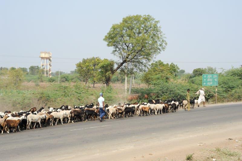 O fazendeiro cruza a estrada com seu rebanho dos carneiros fotografia de stock