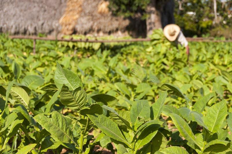 O fazendeiro cubano recolhe a colheita do campo de tabaco foto de stock royalty free
