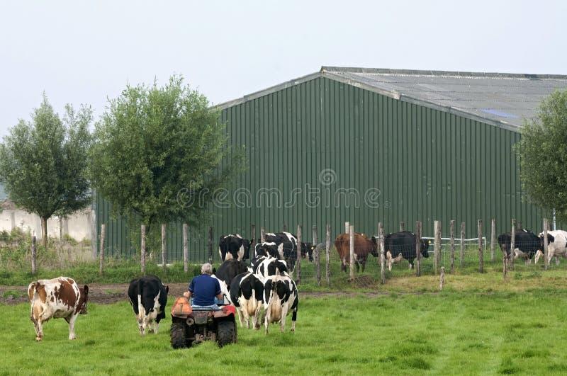 O fazendeiro de gado holandês conduz vacas ao estábulo foto de stock royalty free