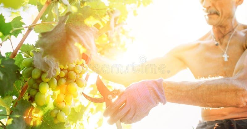 O fazendeiro do homem corta grupos de uma uva Imagem do conceito do tempo do vintage imagem de stock