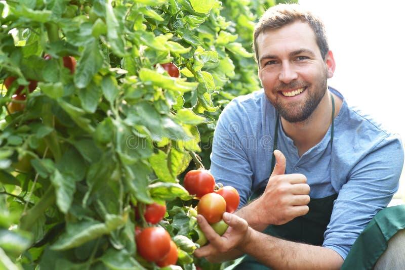 O fazendeiro do jardineiro trabalha nas estufas que crescem tomates imagem de stock