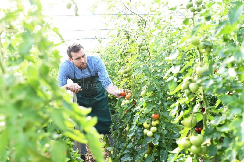 O fazendeiro do jardineiro trabalha nas estufas que crescem tomates fotografia de stock