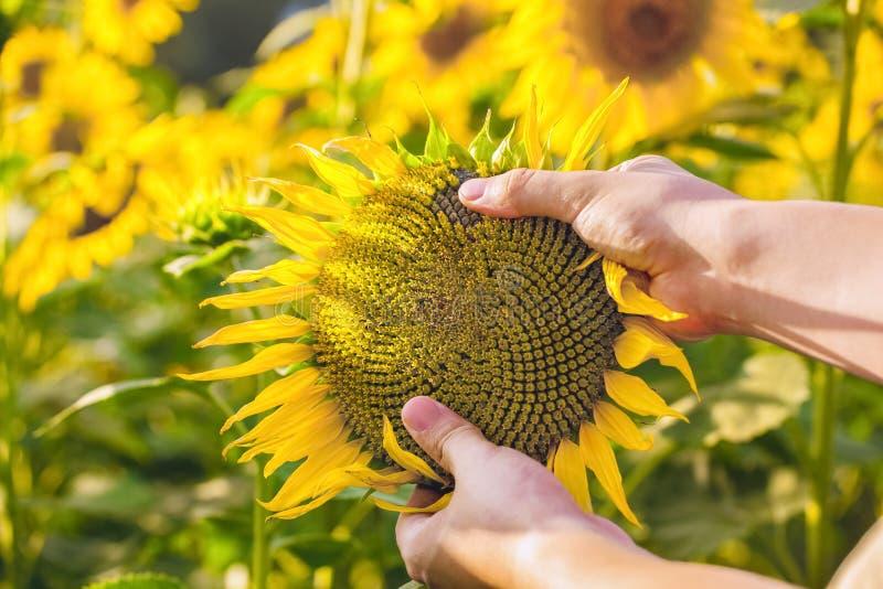 O fazendeiro está guardando um girassol de florescência em suas mãos e está verificando-o no campo imagens de stock