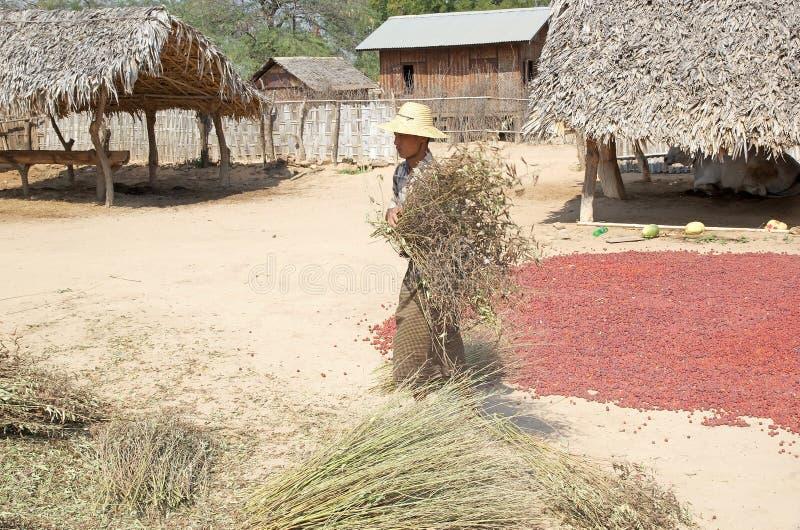 O fazendeiro está trabalhando as colheitas em uma vila, Myanmar imagem de stock royalty free
