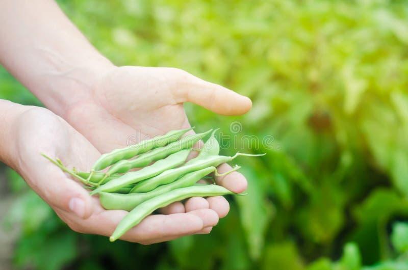O fazendeiro guarda feijões frescos nas mãos Feijão verde Colheita no campo cultivar Produção alimentar da agricultura foto de stock royalty free