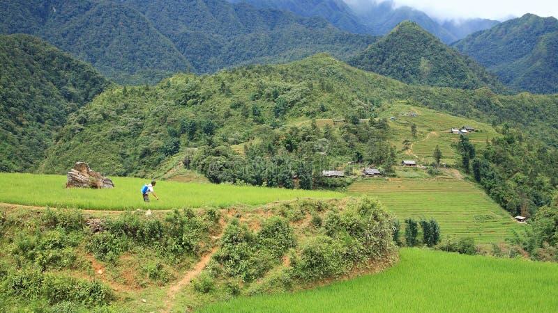 O fazendeiro masculino pulveriza o inseticida em campos terraced do arroz imagem de stock