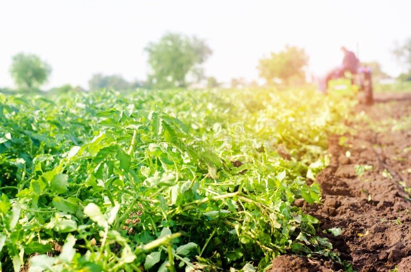 O fazendeiro no trator trabalha no campo, colheita das batatas, trabalho manual, cultivando, agricultura, agroindústria no tercei foto de stock royalty free