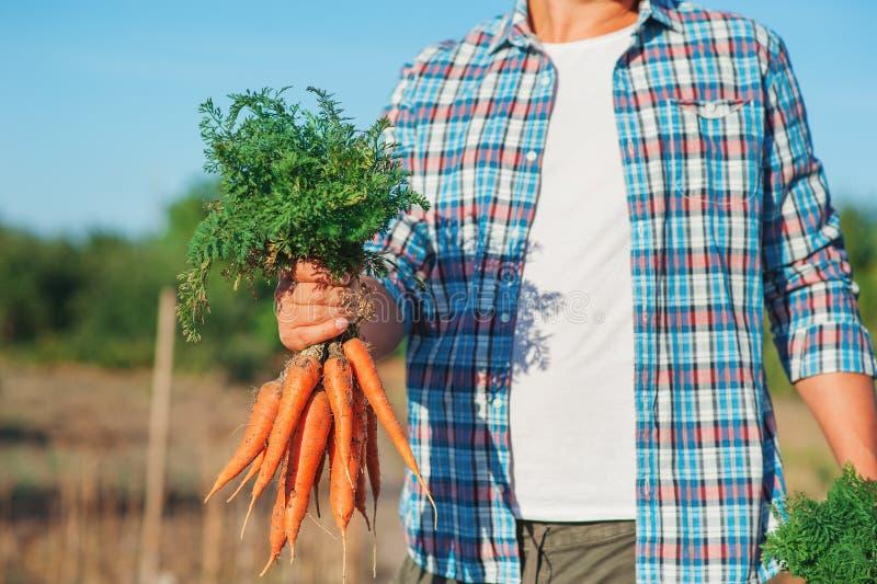 O fazendeiro novo Man que fica e que guarda o grupo colheu a cenoura fresca no jardim Bio vegetais orgânicos naturais Vila do paí imagens de stock