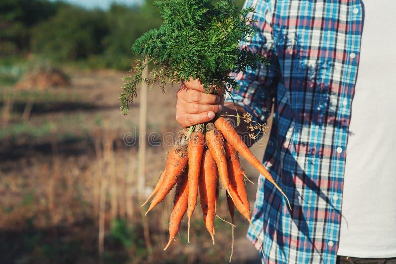 O fazendeiro novo Man que fica e que guarda o grupo colheu a cenoura fresca no jardim Bio vegetais orgânicos naturais Vila do paí fotos de stock