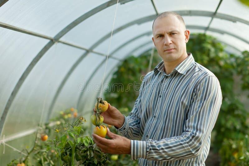 O fazendeiro olha a planta de tomates imagem de stock royalty free