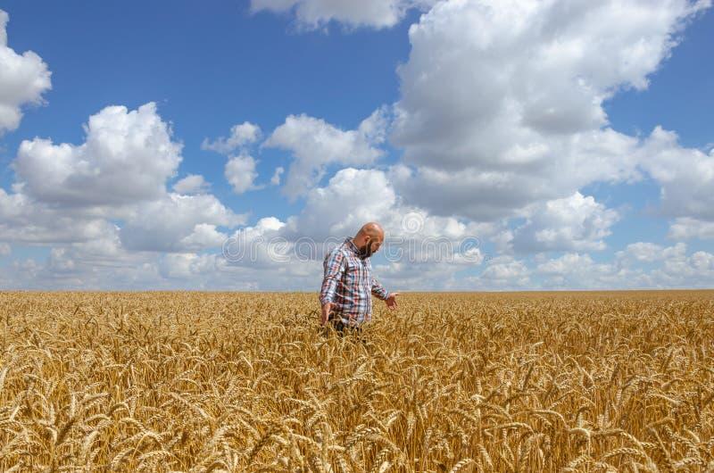 O fazendeiro ou o agrônomo inspecionam a qualidade do trigo, tempo de colheita fotos de stock royalty free
