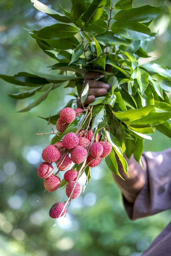 O fazendeiro que mantém lichis frescos frutifica, chamado localmente Lichu no ranisonkoil, thakurgoan, Bangladesh foto de stock