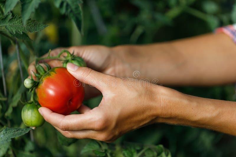 O fazendeiro recolhe os tomates maduros crescidos em seu pomar fotografia de stock