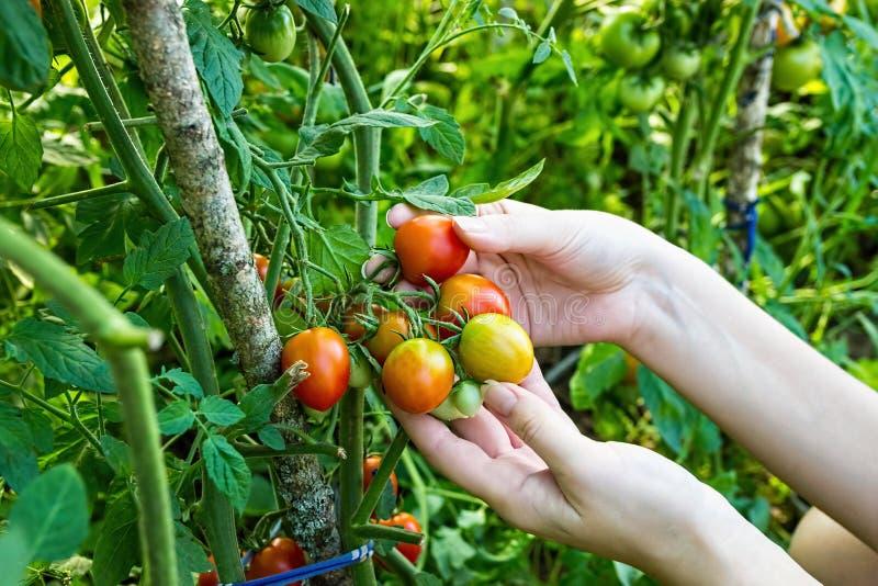 O fazendeiro recolhe tomates de cereja na estufa imagens de stock