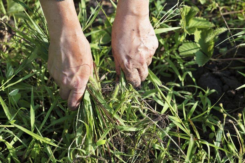 O fazendeiro remove ervas daninhas do jardim e remove as ervas daninhas fotografia de stock royalty free