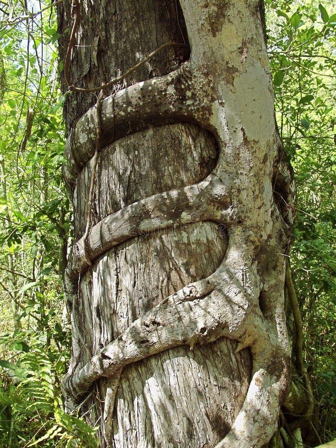 O figo de Strangler estrangula uma árvore de Cypress imagens de stock
