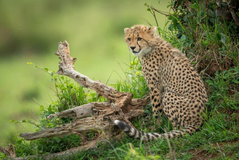 O filhote da chita senta-se entre o log e o arbusto imagem de stock royalty free
