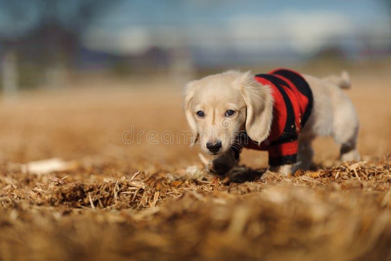 O filhote de cachorro anda nas microplaquetas de madeira fotos de stock
