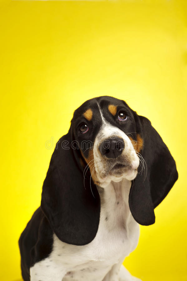 Filhote de cachorro de Basset Hound em um fundo amarelo foto de stock royalty free