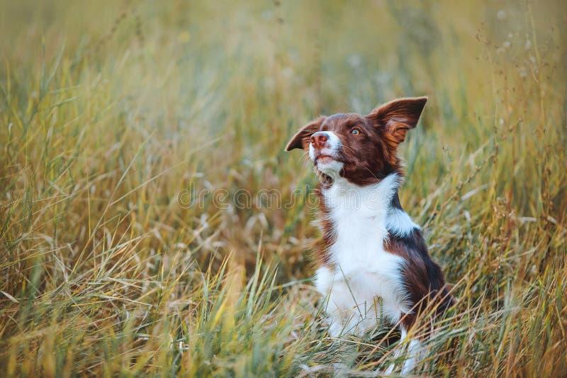 O filhote de cachorro bonito de border collie do chocolate faz correria na grama alta fotografia de stock royalty free