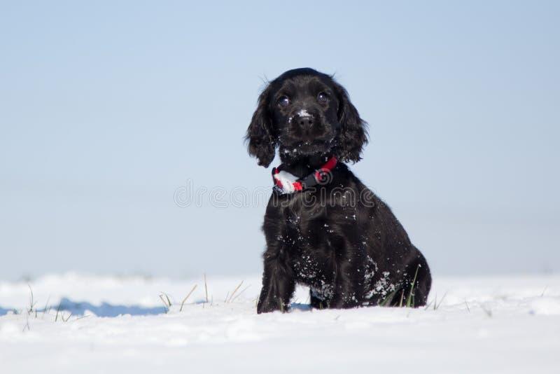 O filhote de cachorro bonito de cocker spaniel senta-se na neve fotos de stock