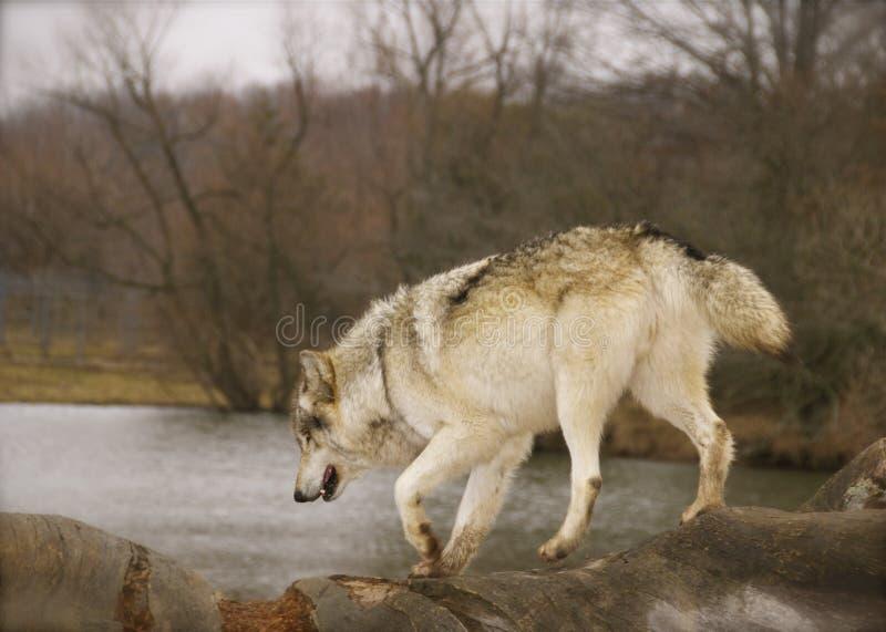 Lobo vermelho fotografia de stock royalty free