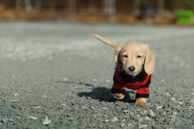O filhote de cachorro do Dachshund anda para a câmera imagens de stock