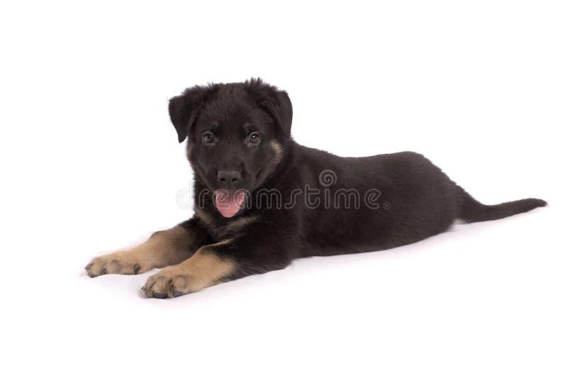 O cachorrinho do carneiro-cão foto de stock