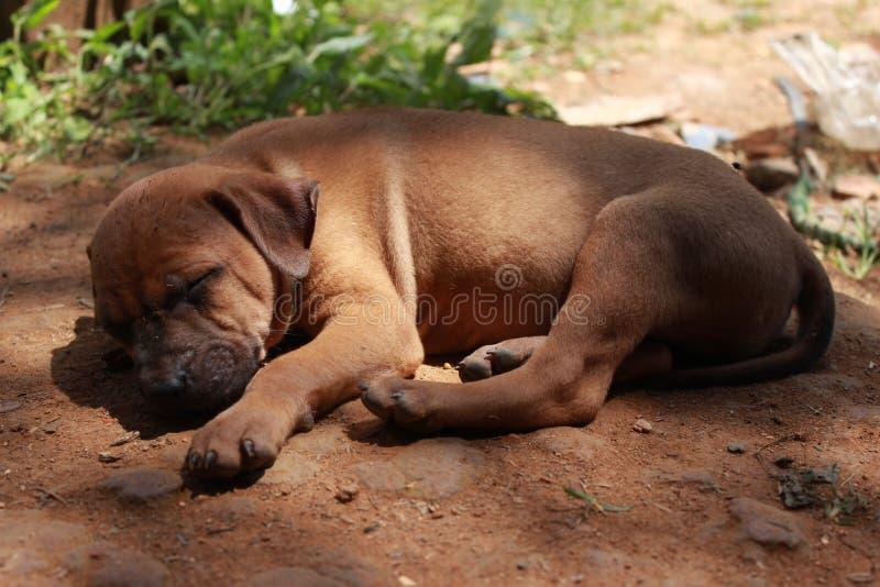 O filhote de cachorro do sono fotos de stock
