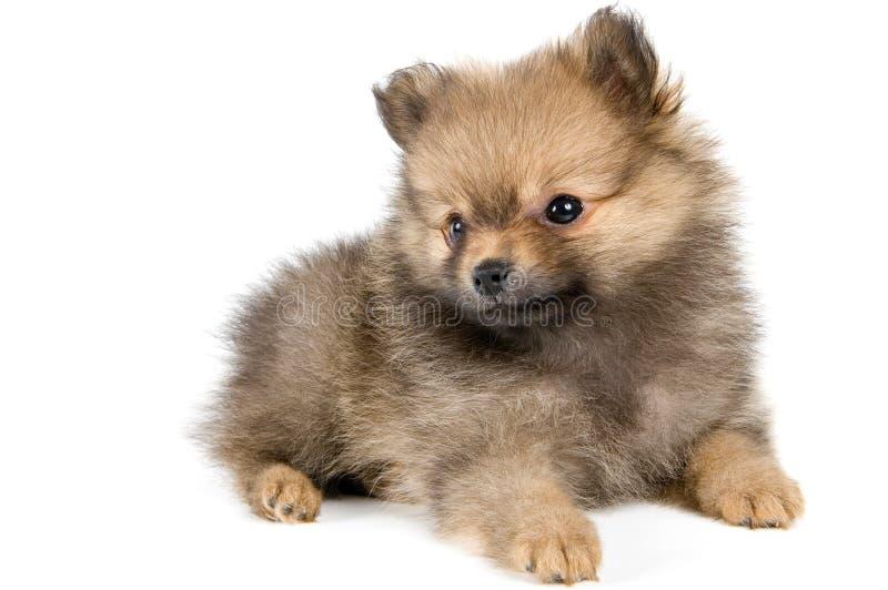 O filhote de cachorro do spitz-cão imagens de stock royalty free