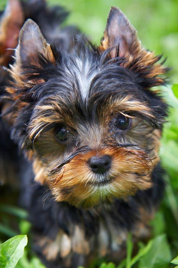 O filhote de cachorro do terrier de yorkshire fotografia de stock