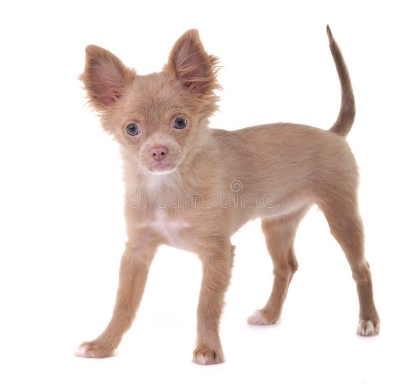 O filhote de cachorro engraçado da chihuahua levanta em um fundo branco fotografia de stock