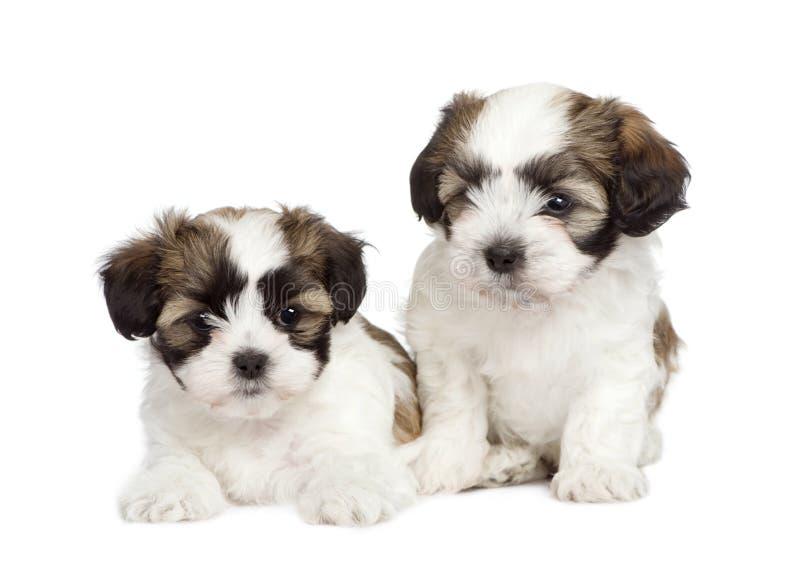 O filhote de cachorro misturado-Produz o cão Shih Tzu e maltês foto de stock