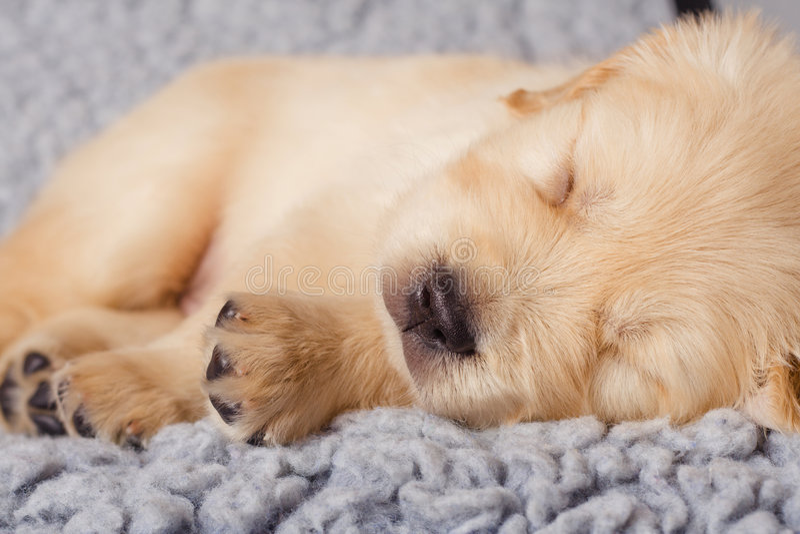 O filhote de cachorro pequeno do retriever está dormindo foto de stock