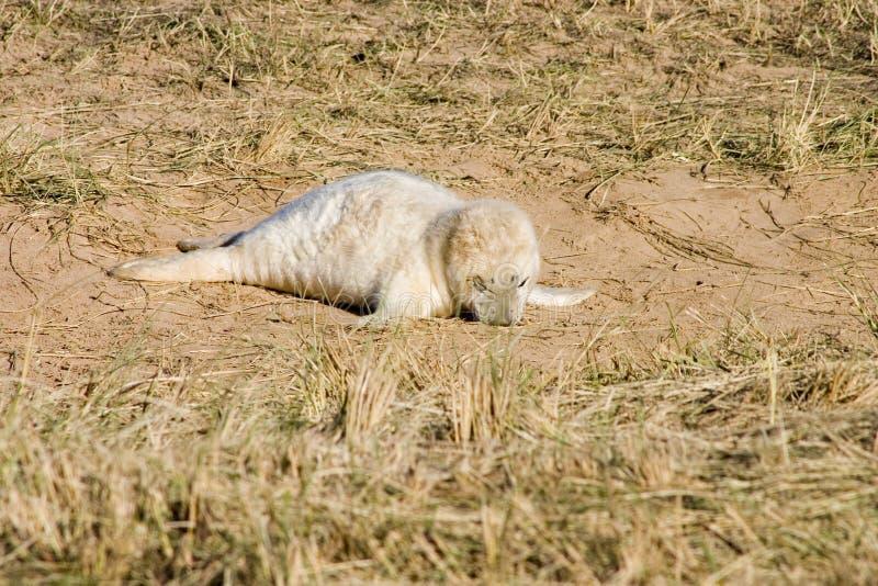 O filhote de cachorro de selo cinzento jejua adormecido fotografia de stock