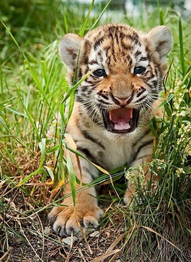 O filhote de tigre bonito de Amur olha para fora da grama O tigre de Amur ou de Ussuri, ou o tigre do leste fotos de stock royalty free