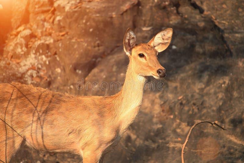 O fim acima da cara dos cervos, é a formação dos mamíferos do ruminante imagens de stock royalty free